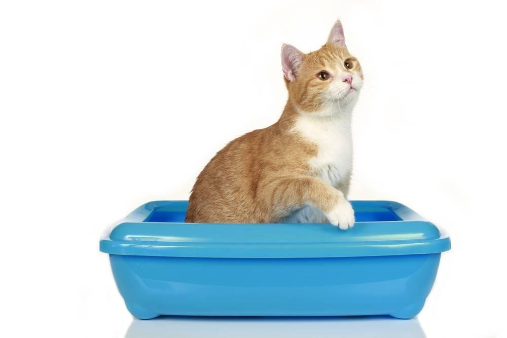 Недержание мочи у кошек: причины и лечение