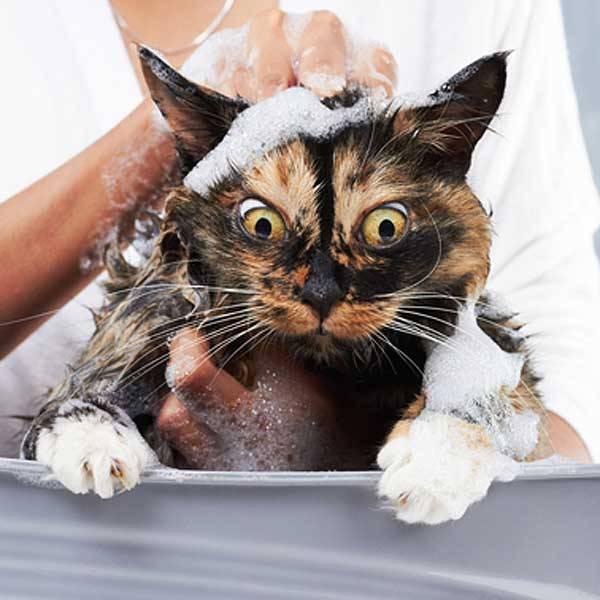 Сколько раз мыть кошку противогрибковым шампунем