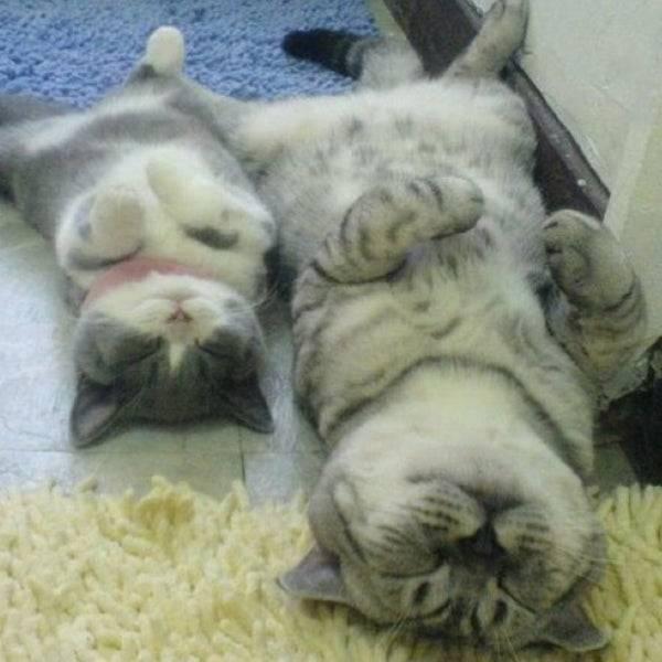 Почему кошка спит на спине: ТОП-8 причин