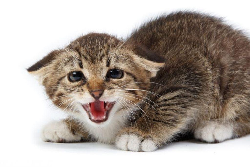 У кота болит ухо: чем лечить в домашних условиях
