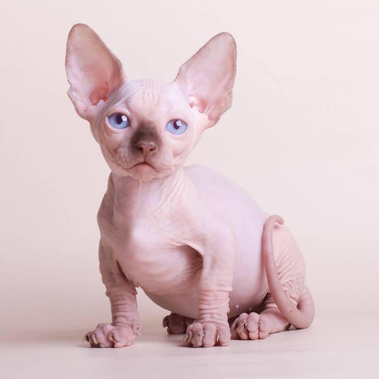 Экзотическая порода кошек бамбино сфинкс на коротких лапах