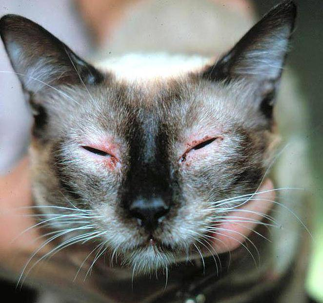 Гипоаллергенные корма для кошек: рейтинг, правила выбора