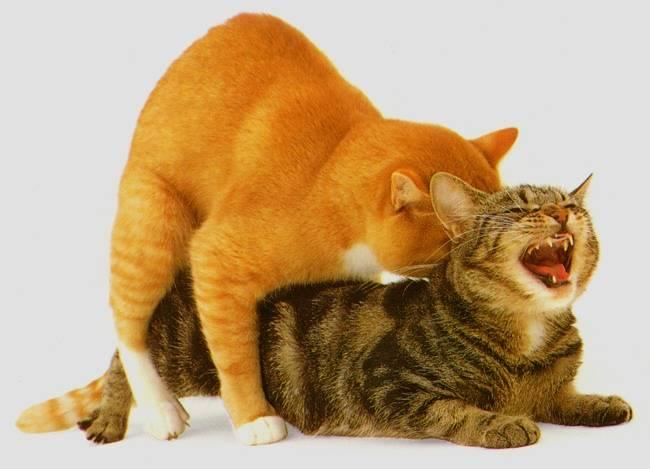 Что делать хозяину если кошка просит кота