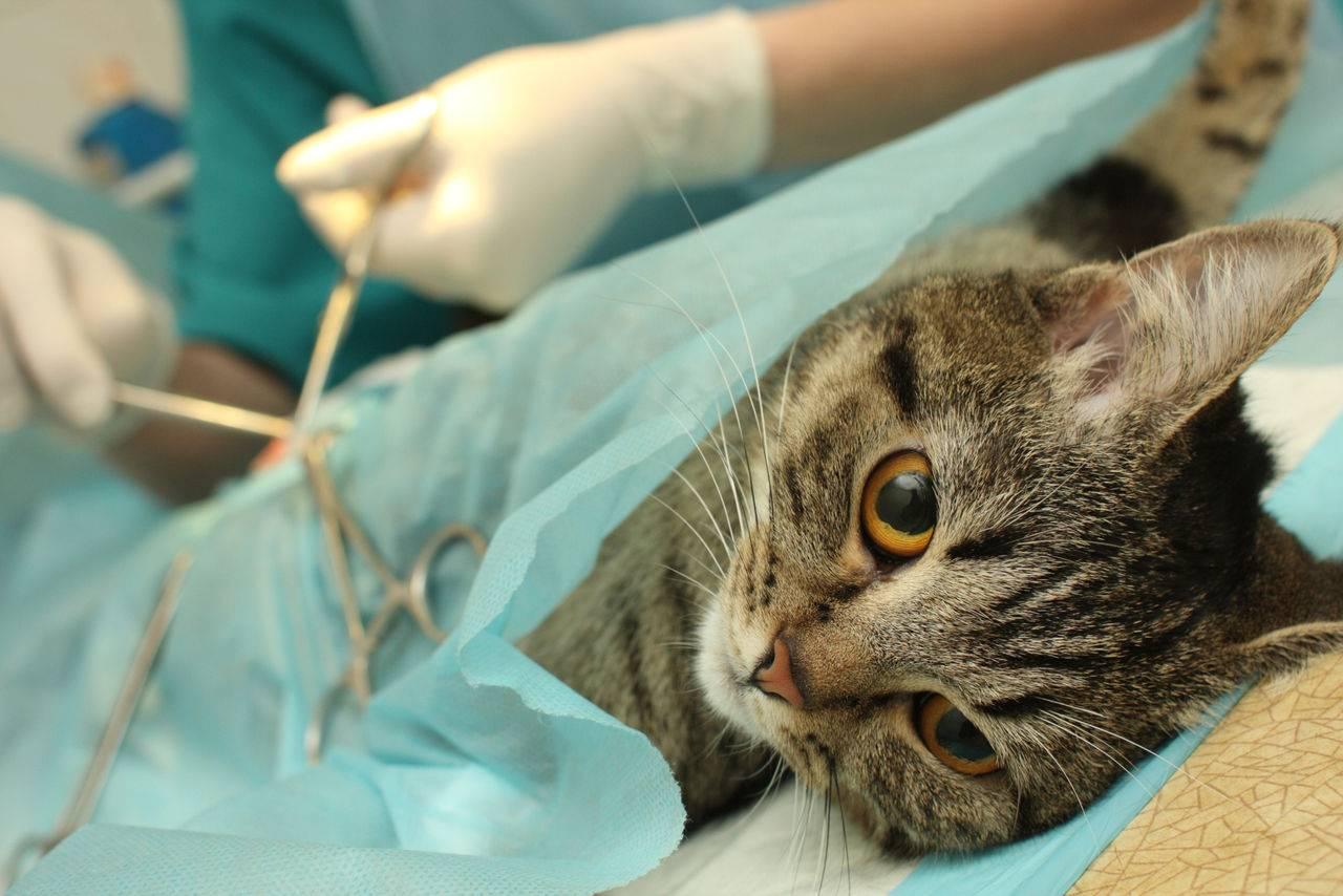 Как долго кот отходит после кастрации и после наркоза как себя вести