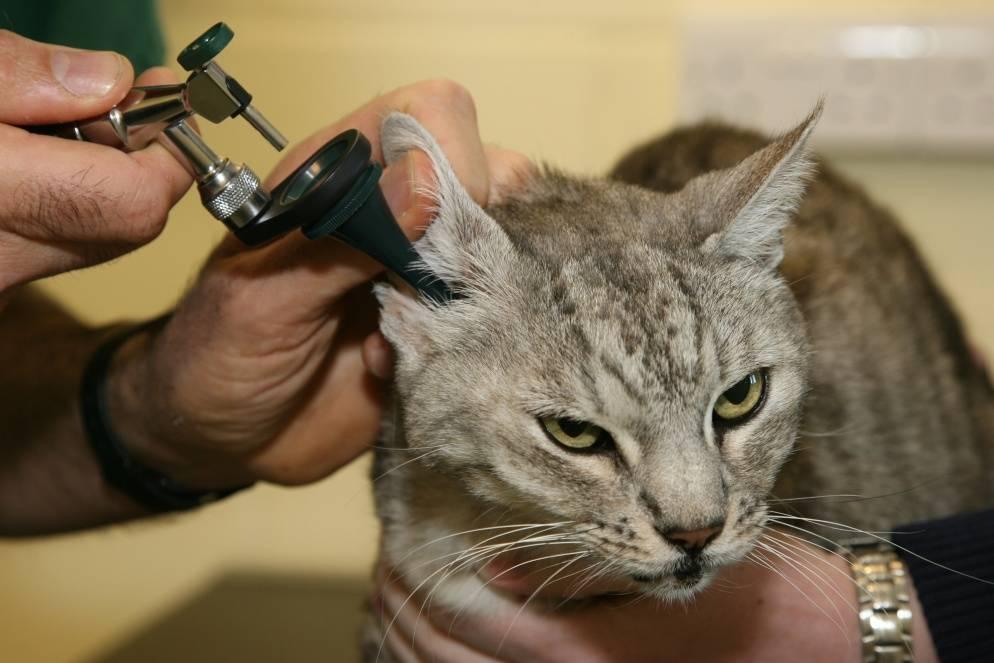 Лечим ушной клещ у кошек в домашних условиях избавляемся от клеща при помощи народных средств
