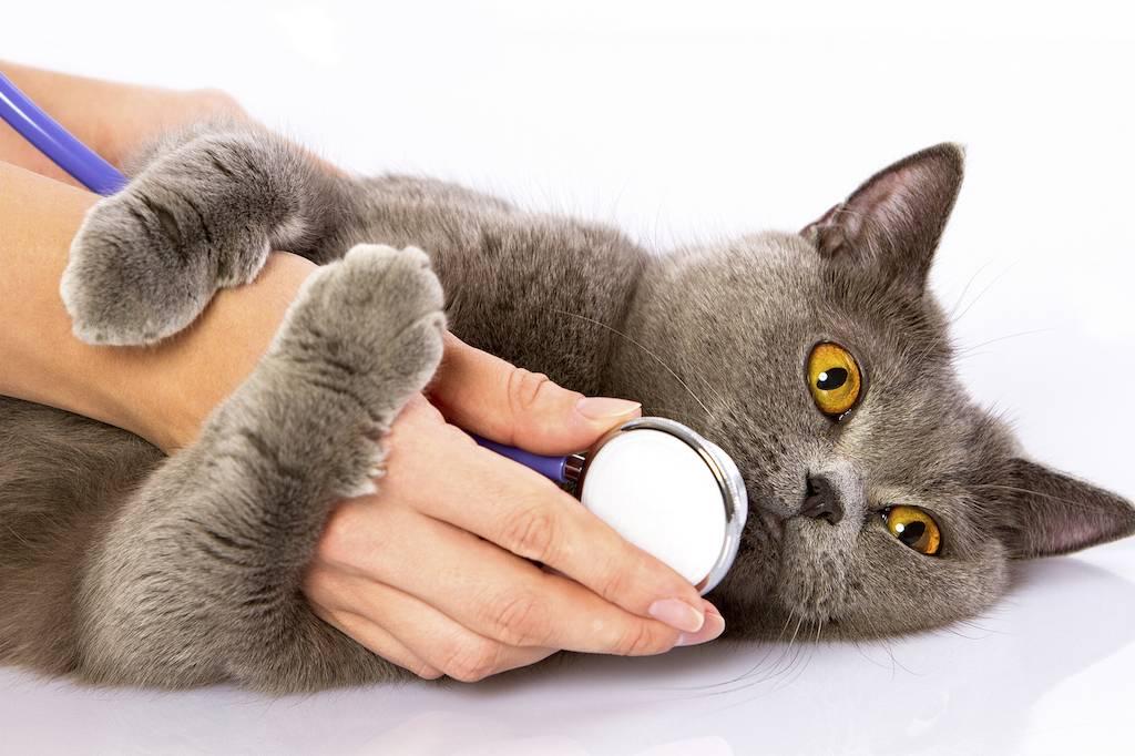 Гемобартенеллез у кошек симптомы и лечение