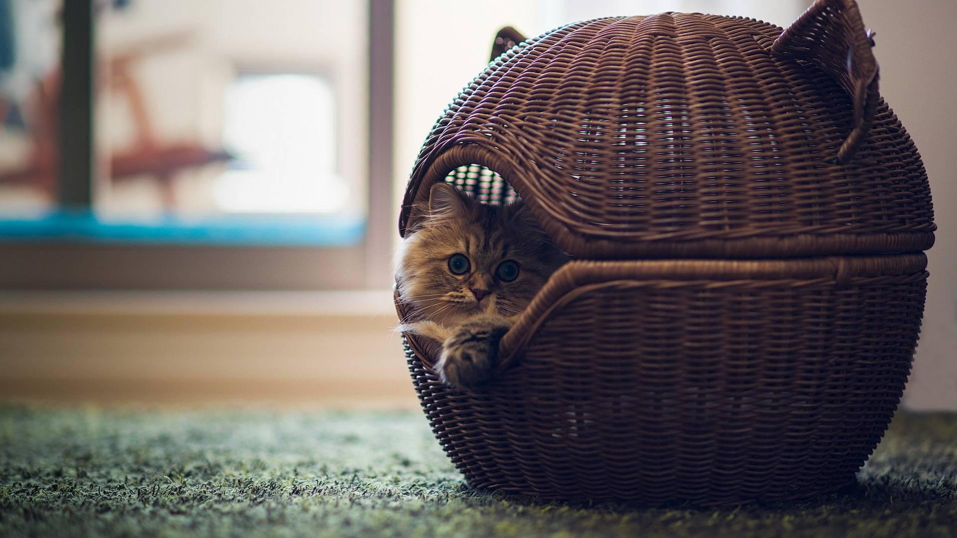 Как помочь кошке родить кошке на дому