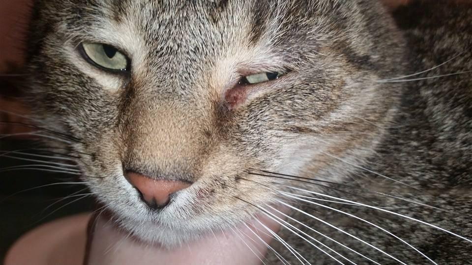 У кота закисают глаза  причины и что делать