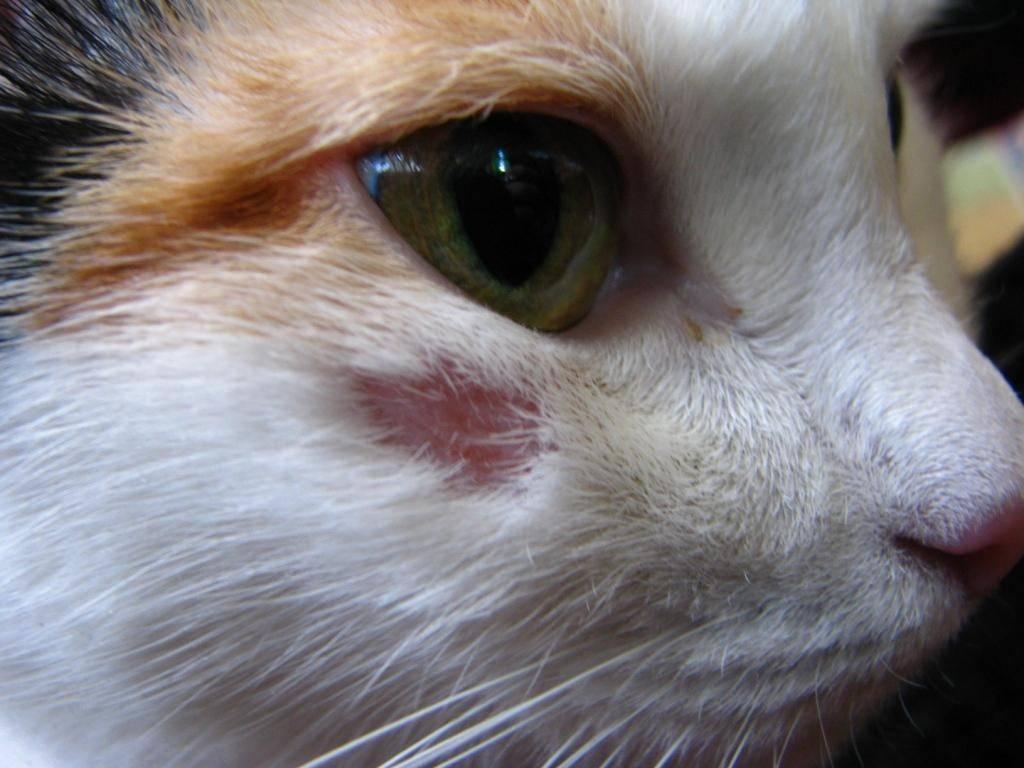 Может ли кот заразиться лишаем от человека к человеку