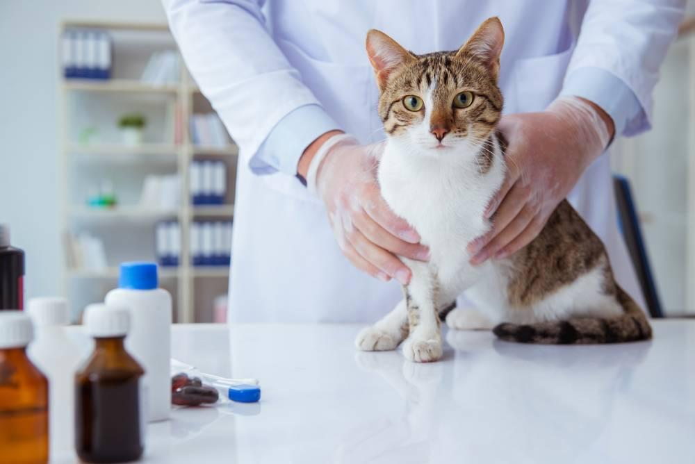 Как лечить гастрит у кошки