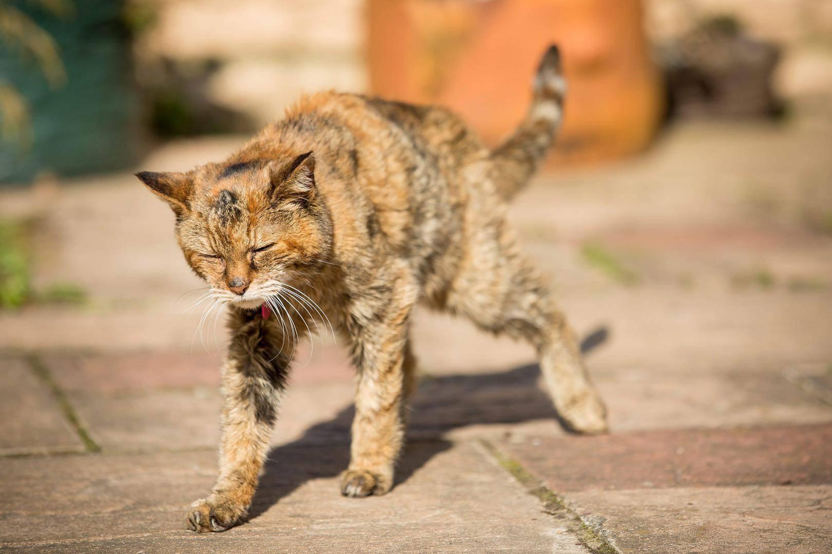 Что делать, если кот хромает на заднюю лапу? Почему кот хромает на заднюю лапу без видимых травм и что делать в этой ситуации.