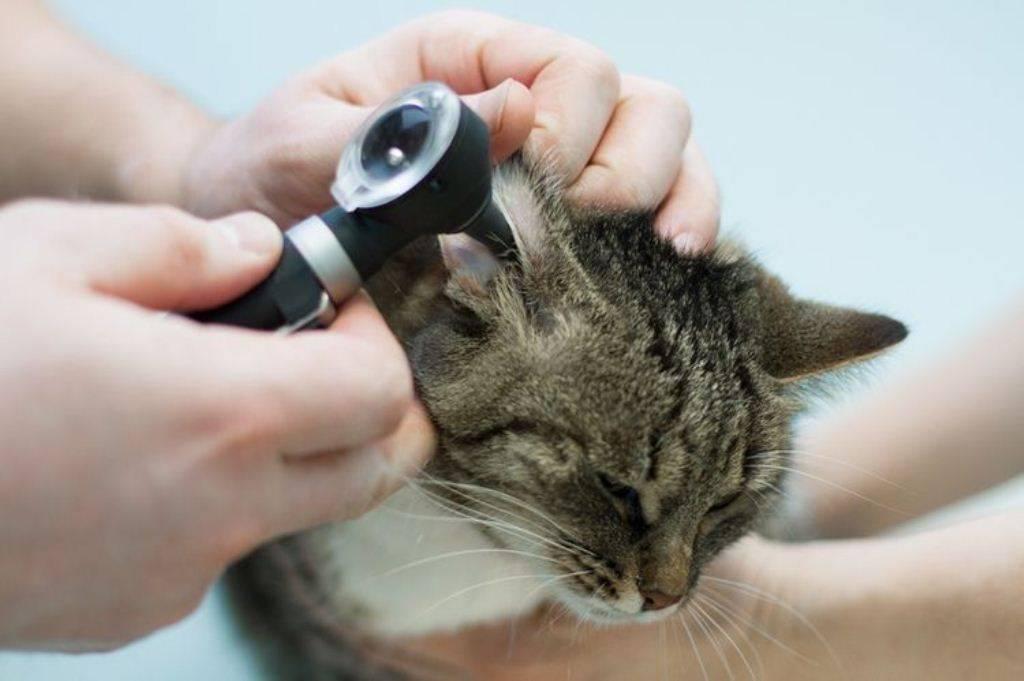 Подробно о болезнях ушей у кошек симптомы и лечение в домашних условиях