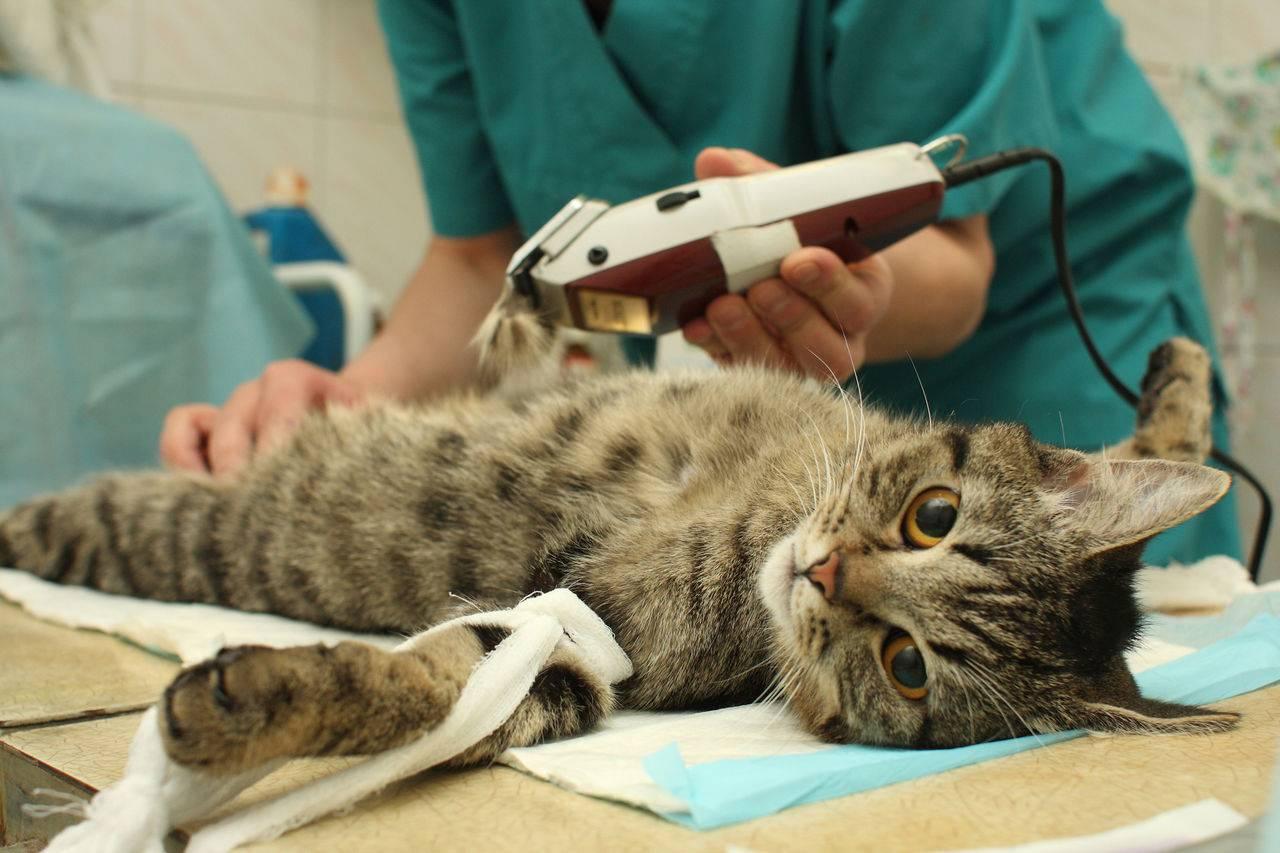 Может ли кошка забеременеть после стерилизации ответ да