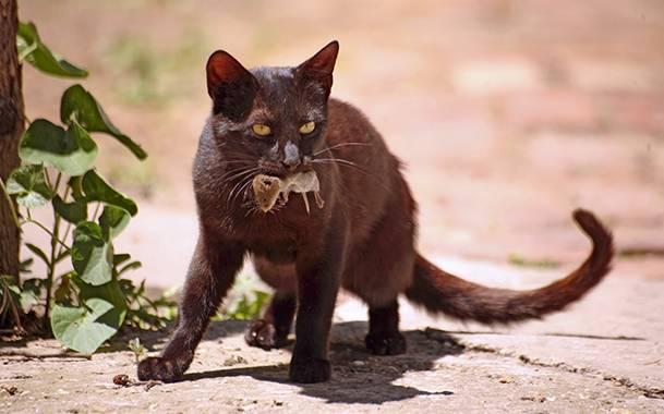 Как в домашних условиях вылечить гепатит у кошек