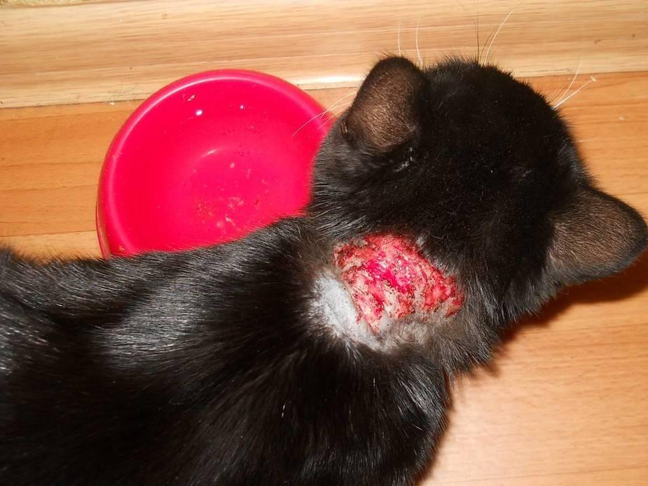 Может ли человек заразиться от кошки лишаем