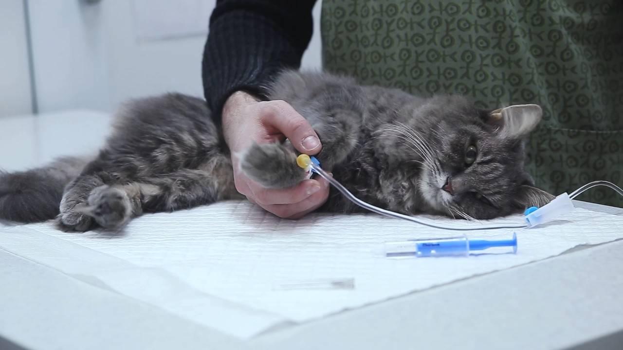 Кишечная непроходимость у кошек лечение в домашних условиях thumbnail