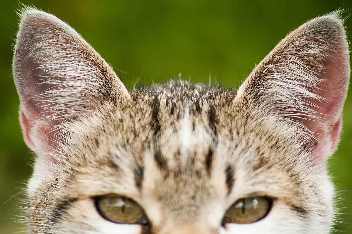 Что делать если у кошки опухло ухо
