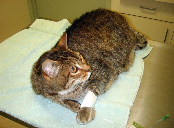 Перелом у котят лечение в домашних условиях