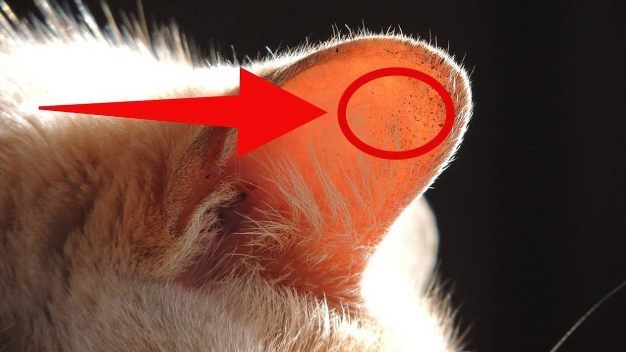 Покраснение уха у кота