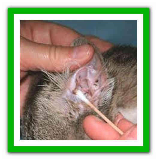 Клещи в ушах у кошек лечение в домашних условиях народными средствами