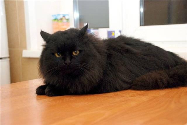 Русские голубые кошки с зелёными глазами очаровали тысячи людей. Ридус