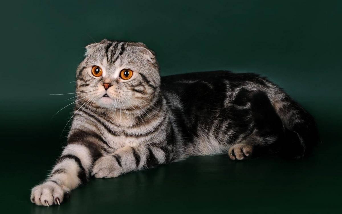 кругом вислоухий шотландский кот фотографии все