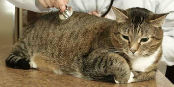 Отчего бывает отек легких у кошек