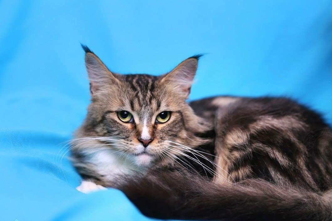 сшить мэйкун фото котята метисы парень