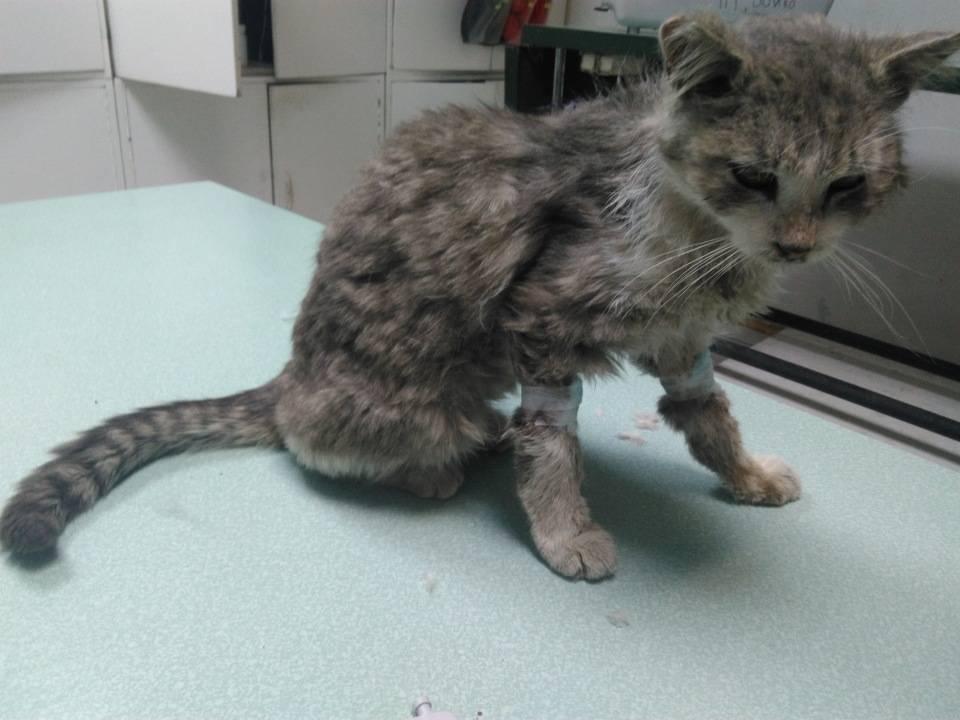 Старая кошка очень сильно похудела
