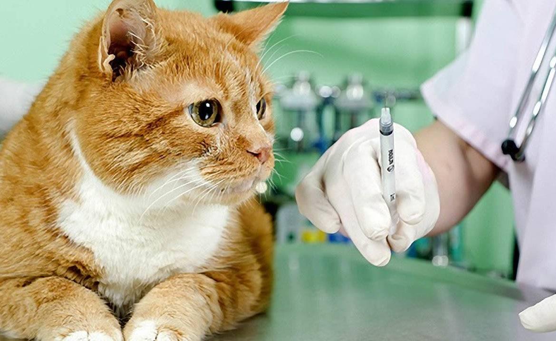 Когда кошкам надо делать прививки