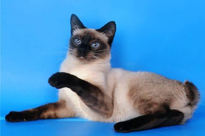 Меконгский бобтейл (тайский, сиамский): описание породы, характер кошки
