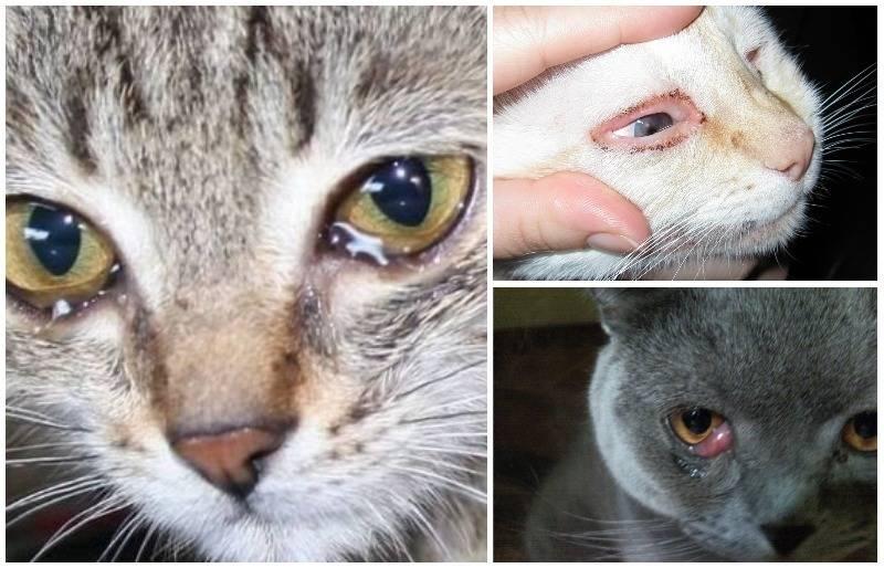 Конъюнктивит у кота чем лечить в домашних thumbnail