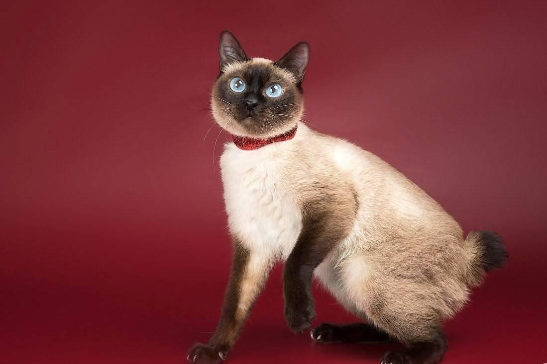 Сколько живет кошка меконгский