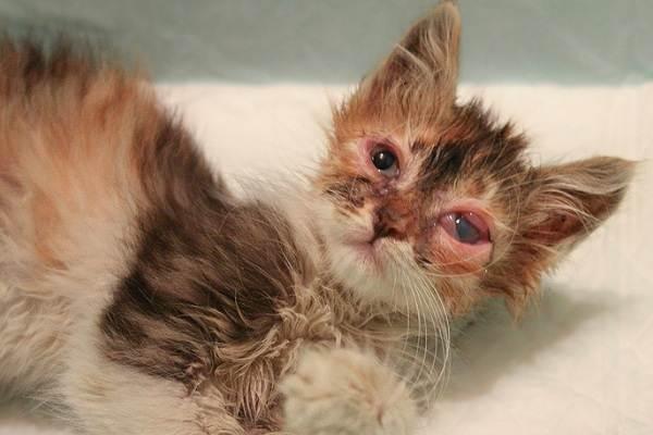 Гнойный конъюнктивит у кошек причины признаки лечение