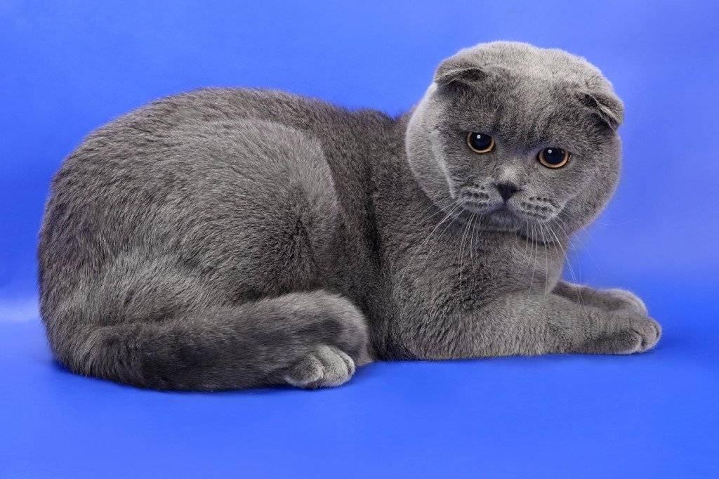 картинка британца вислоухого котенка инвентарь оборудование для