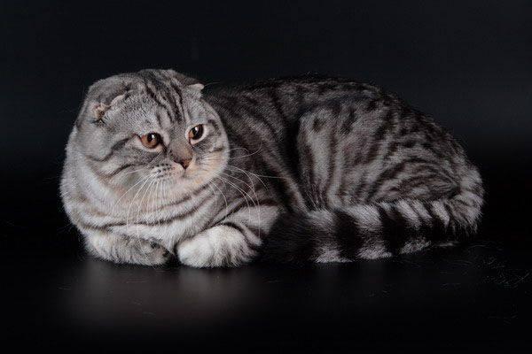 Отличие британских кошек от шотландских?