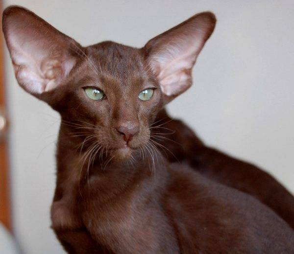 Породы кошек и котов с большими ушами