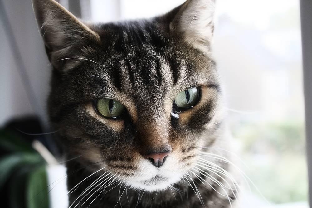 У кота слезится глаз причины что делать чем лечить