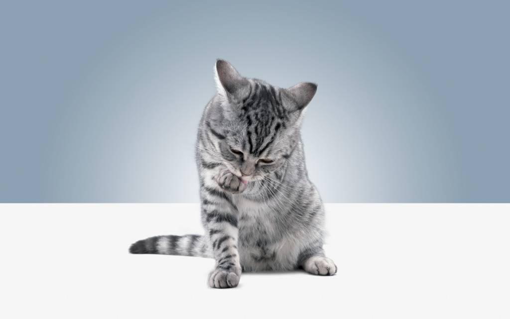 Как подружить двух кошек между собой