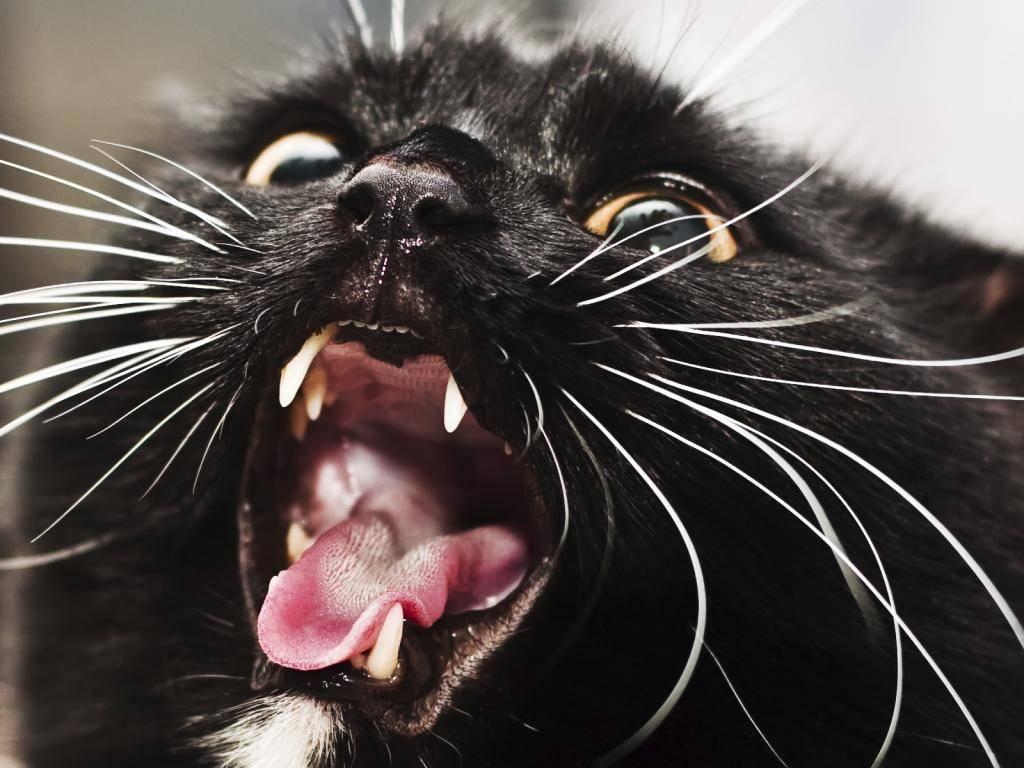 Картинка бешеного кошка