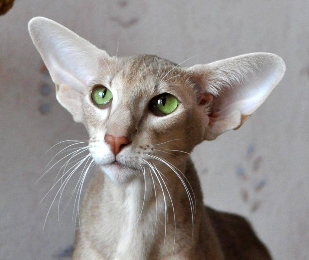 Кошка с длинным носом порода