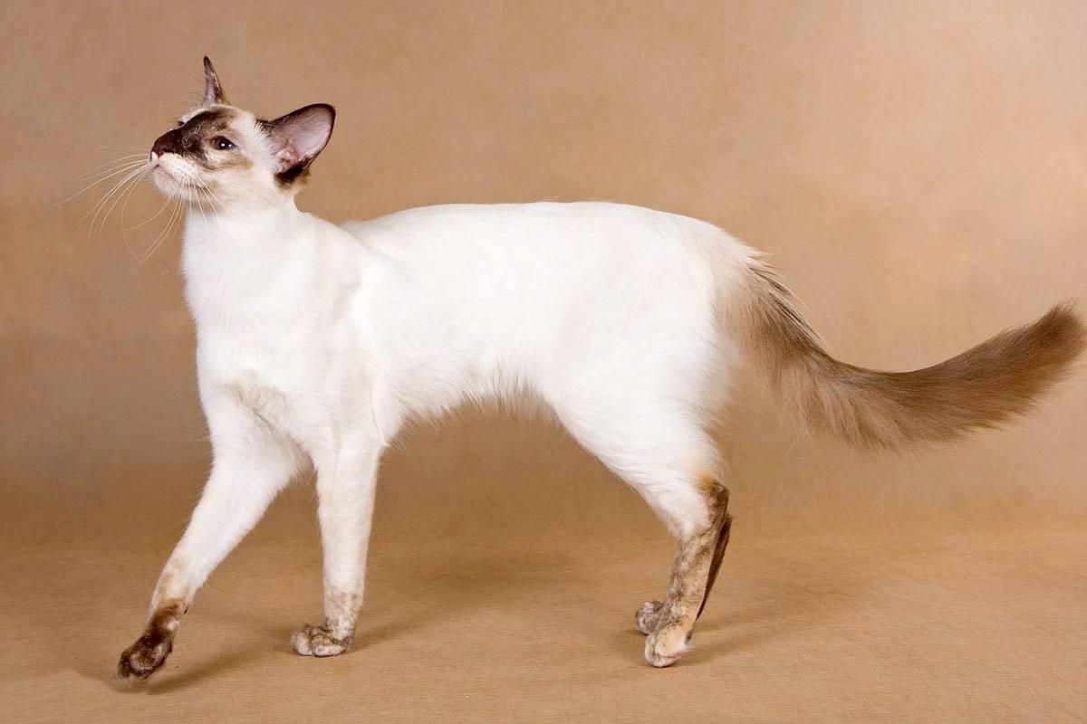 Балийская кошка - история породы, уход и содержание балийской кошки