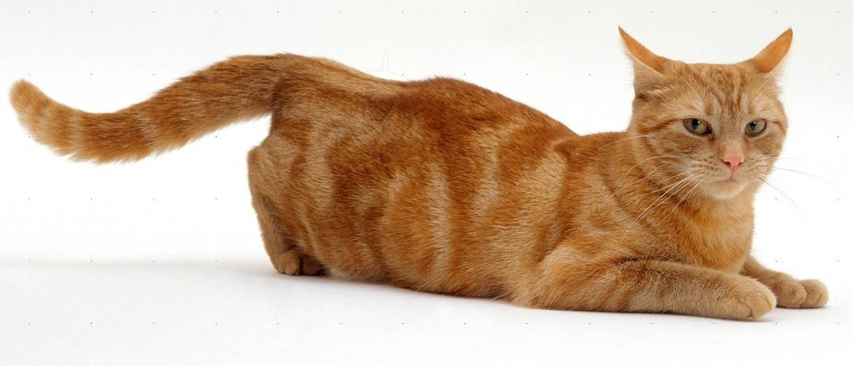 Сколько идут гульки у кошки