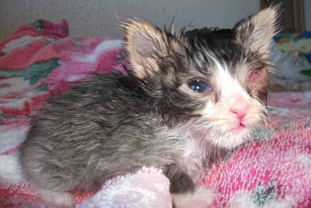 Герпес глаз кошек лечение