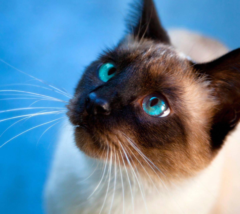Балинезийская кошка балинез