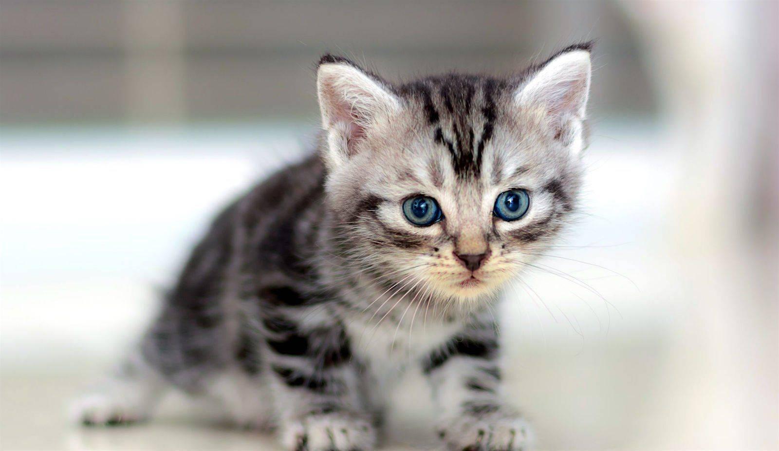 Особенности породы американская короткошерстная кошка