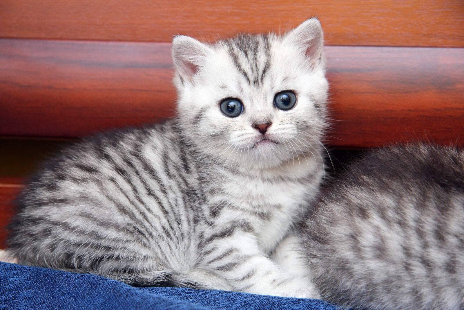 Какой породы кот в рекламе Вискас