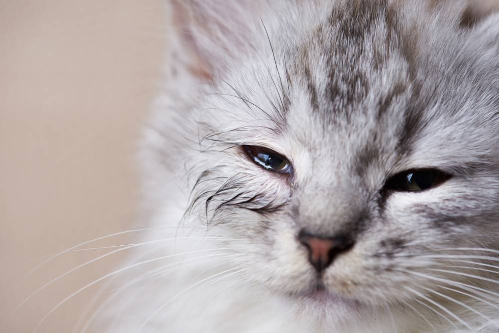 У кошки слезится глаз щурится