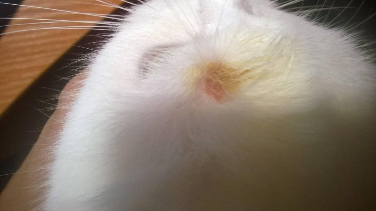 Эффективные способы лечения стригущего лишая у кошки: народные средства, вакцинация