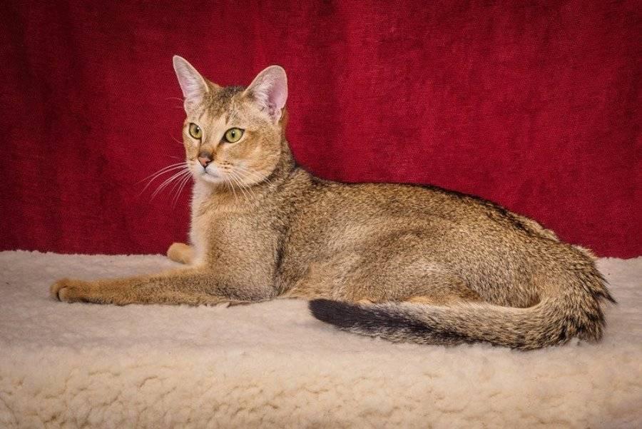 Порода кошек чаузи: фото, описание породы, откуда эти кошки и коты, цена кошки чаузи